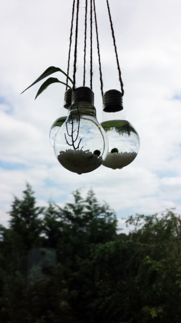 Three Marimo Moss Ball Light Bulb Hanging Terrariums
